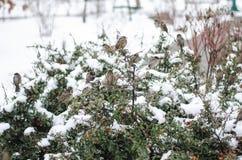 Sparvar sitter på en buske Snöig vinter arkivfoton