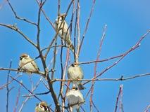 Sparvar som sitter på ett träd royaltyfria foton