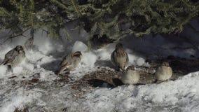 Sparvar under trädet i snön stock video
