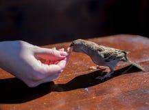 sparven äter från handen arkivbilder