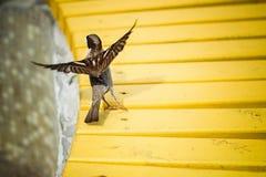 Sparven flyger med gula bänkar i parkera Arkivfoto