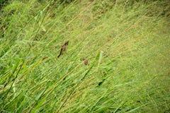 Sparven och det Johnson gräset arkivfoton
