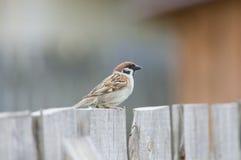 Sparven sitter på staketet Royaltyfria Foton