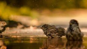 Sparven skakar av vatten i pöl Royaltyfria Bilder