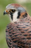 sparverius американского falco kestral стоковое фото