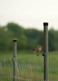 Sparvfågel på staketet nära vingård arkivbild