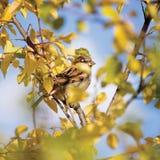 Sparvfågelförbipasserande P detaljerad closeup för domesticus, höstträd Royaltyfri Fotografi