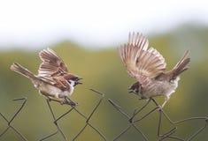 Sparvfåglar viftar med deras vingar på det gamla staketet Royaltyfria Foton