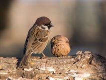 Sparvförbipasserandedomesticus och fågelmatning Arkivfoto