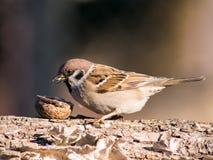 Sparvförbipasserandedomesticus och fågelmatning Fotografering för Bildbyråer