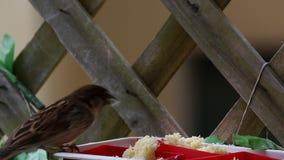 Sparvfilm, medan äta stock video