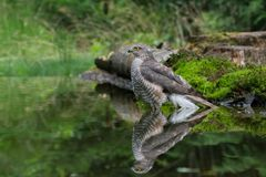 Sparviero con la riflessione nell'acqua fotografie stock libere da diritti