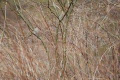 Sparvnederlag i buske fotografering för bildbyråer