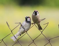 Sparvsammanträde för två roligt fåglar på ett ingreppsstaket i sommaren in royaltyfri foto