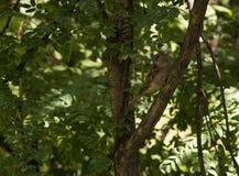 Sparvsammanträde på en filial av ett träd Fotografering för Bildbyråer
