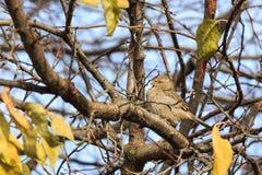 Sparvsammanträde på ett träd Royaltyfri Bild