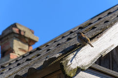 Sparvsammanträde på kanten av taket Royaltyfri Foto