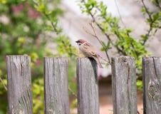 Sparvsammanträde på staketet Royaltyfri Bild