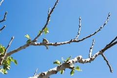 Sparvsammanträde på trädfilialen Royaltyfria Bilder