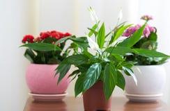 Spathiphyllum和红色和桃红色Kalanchoe在内部 免版税库存照片