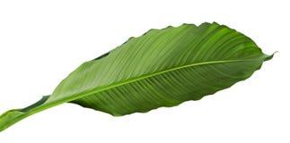 Spathiphyllum或和平百合,在白色背景隔绝的新鲜的绿色叶子大叶子  免版税图库摄影
