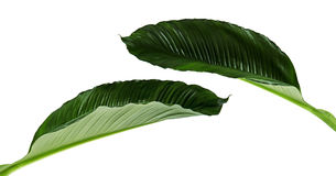 Spathiphyllum或和平百合,在白色背景隔绝的新鲜的绿色叶子大叶子  图库摄影