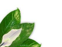spathiphyllum Arkivbilder