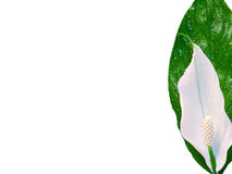 Spathiphyllum Photo stock