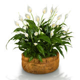 Spathiphyllum stock photos