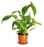 Spathiphyllum. Stock Afbeelding