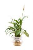 Spathiphyllum Lizenzfreie Stockbilder