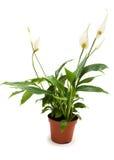 Spathiphyllum Fotografía de archivo libre de regalías