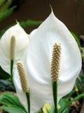 Spathiphyllum Imágenes de archivo libres de regalías