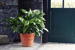Spathiphyllum Imagens de Stock Royalty Free