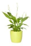 spathiphyllum Royaltyfri Fotografi