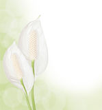 Spathiphyllum background Stock Photos