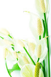 Spathiphyllum Royalty Free Stock Photo