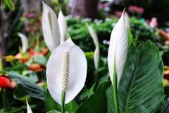 Spathiphyllum cannifolium Royalty Free Stock Photo