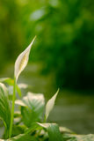 Spathiphyllum (giglio di pace) Fotografia Stock Libera da Diritti