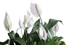 Spathiphyllum floreciente de las flores blancas fotografía de archivo