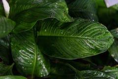 Spathiphyllum floribundum天南星科从哥伦比亚的植物叶子 库存图片
