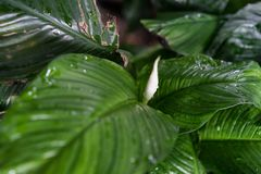 Spathiphyllum floribundum天南星科从哥伦比亚的植物叶子 免版税库存照片