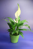 SPATHIPHYLLUM FLORIBUNDUM-1. SPATHIPHYLLUM FLORIBUNDUM, lovely flower in front of blue backround Royalty Free Stock Photo
