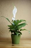 SPATHIPHYLLUM FLORIBUNDUM. Nice white flower - indoor Royalty Free Stock Photography