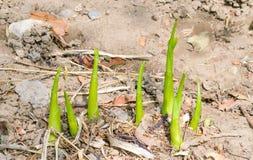 Spathiphyllum floribundum 库存照片