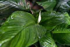 Spathiphyllum floribundum araceae plant leaf from columbia. Botany Royalty Free Stock Images