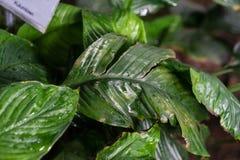 Spathiphyllum floribundum araceae plant leaf from columbia. Botany Royalty Free Stock Image