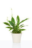 Spathiphyllum flower plant Royalty Free Stock Photos