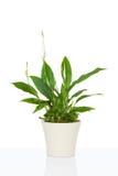 Spathiphyllum flower plant Royalty Free Stock Photos