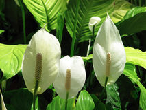 Spathiphyllum Stock Images
